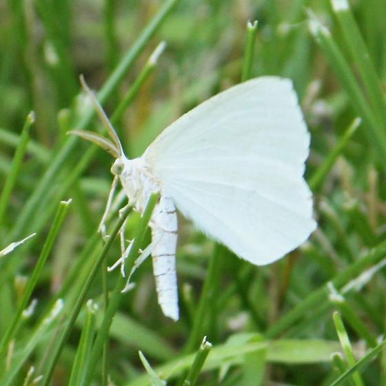 White moth - Eugonobapta nivosaria - male