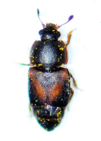 Dusky Sap Beetle - Carpophilus lugubris