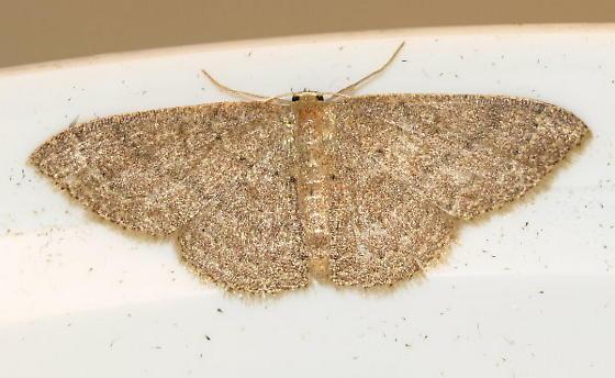 Brown Moth - Pleuroprucha insulsaria