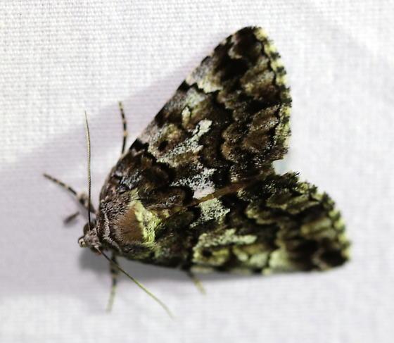False Underwing? - Allotria elonympha