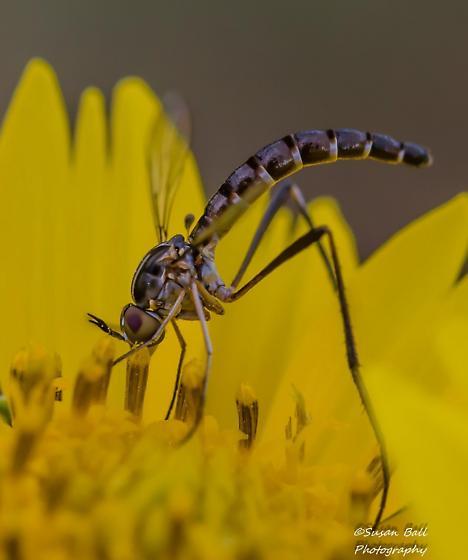 Bee fly.....Genus Dolichomyia - Dolichomyia gracilis