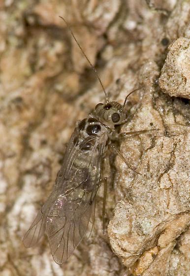 Bark Louse on Bark - Blastopsocus lithinus