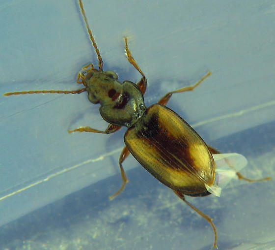 pale spotted carabid - Bembidion constricticolle