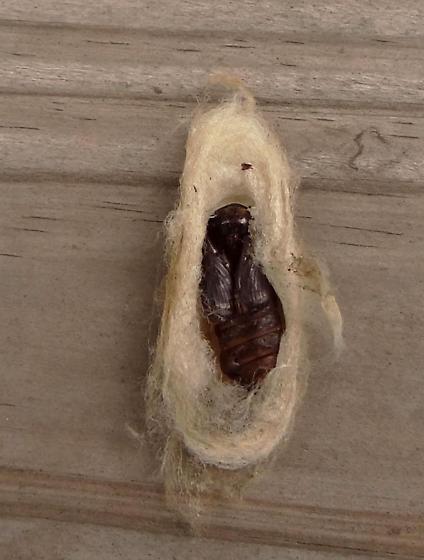 Apotolype cocoon with empty chrysalis exposed. - Apotolype blanchardi