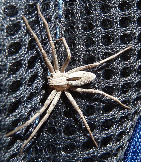 Spider with black marking on abdomen - Thanatus