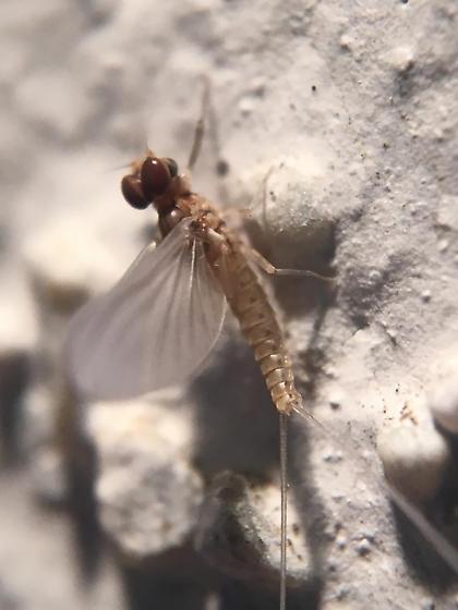 Baetidae sp. - Anafroptilum - male