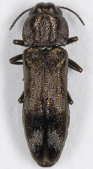 Metallic Wood-boring Beetle - Agrilus subcinctus