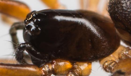 Spider - Walckenaeria spiralis - female
