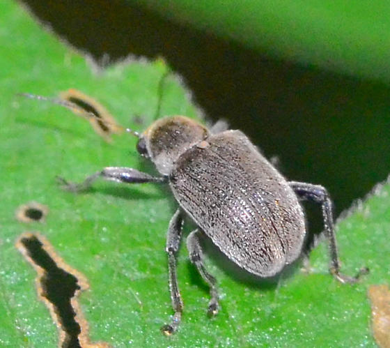 gray fungus? weevil  - Fidia viticida