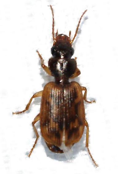 Carabidae - Apenes