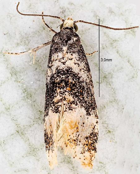 moth - Thyraylia nana - male