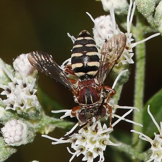 Epeolus - Epeolus howardi - female