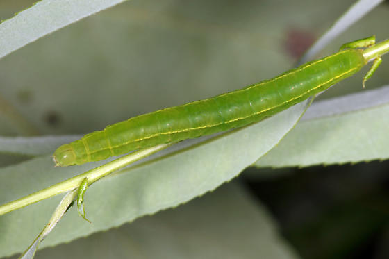 caterpillar on willow - Scoliopteryx libatrix