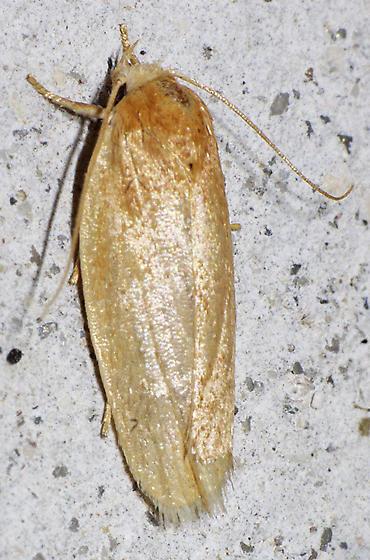 Antaeotricha? - Antaeotricha