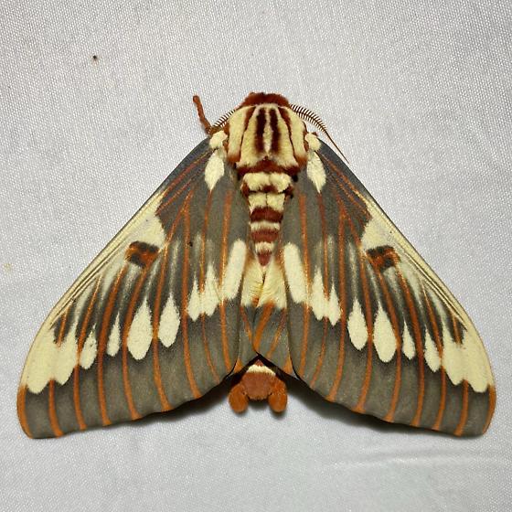 Citheronia splendens sinaloensis - Citheronia splendens