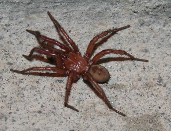 Folding-door Spiders (Antrodiaetidae Antrodiaetus) - Antrodiaetus montanus