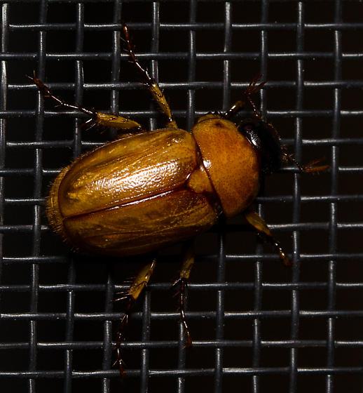 What type of beetle? - Cyclocephala