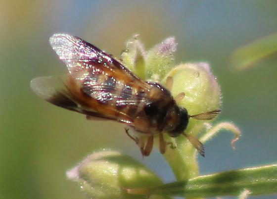 Bee or fly? - female