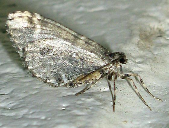 Gray Moth - Stamnodes