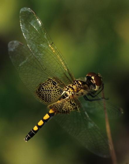 Pennant - Celithemis amanda - female