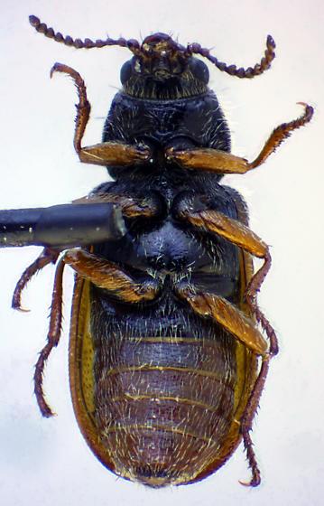 Asydates inyoensis (Blaisdell) - Asydates inyoensis