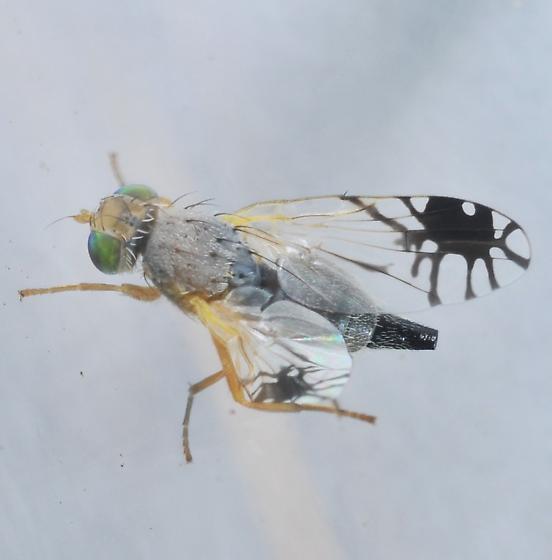 Trupanea jonesi - female