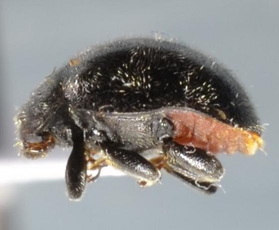 Dusky Lady Beetle? - Rhyzobius forestieri