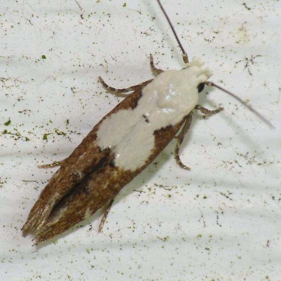 Casebearer Moth - Mompha circumscriptella