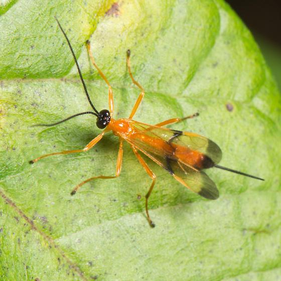 Acrotaphus wiltii - female