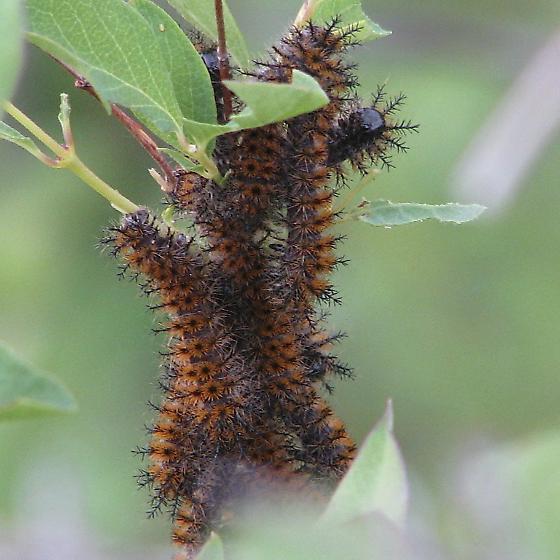 Hemileuca eglanterina larvae - Hemileuca eglanterina