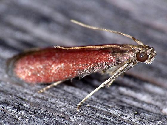 Rusty Varneria Moth - Varneria postremella