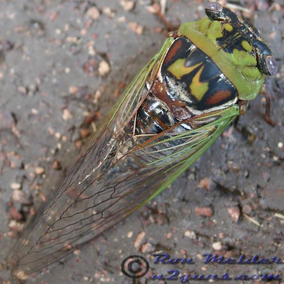 Cicada - Megatibicen pronotalis