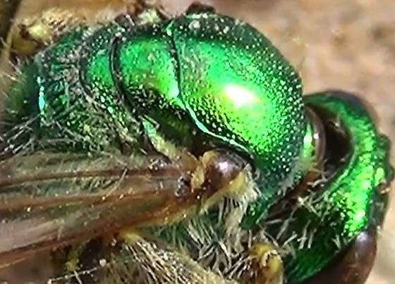 Green Sweat Bee Carcass - Agapostemon - female