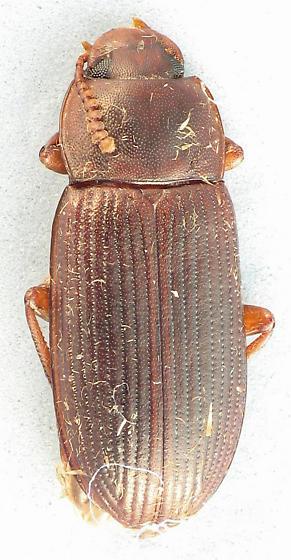 teneb - Cynaeus angustus