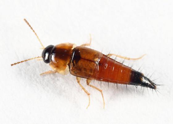 Tachyporus browni? - Tachyporus browni