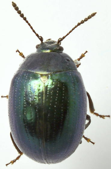 825W16 - Phaedon viridis - female