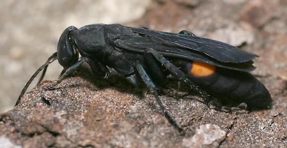 Psorthaspis brimleyi - female