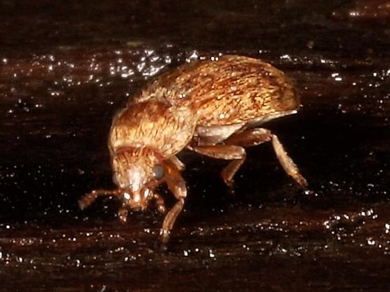 Fruitworm Beetle? - Xerasia grisescens