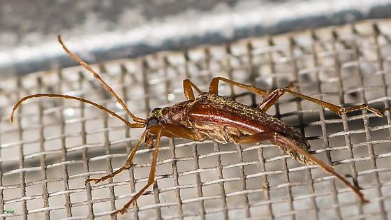 A longhorn for identification. - Stenocorus cinnamopterus