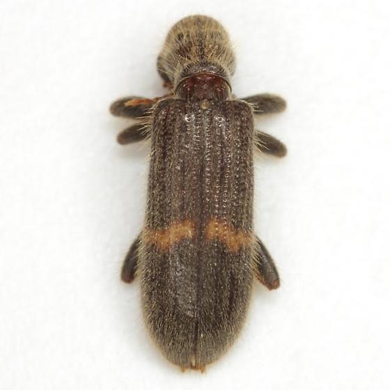 Cymatodera dietrichi Barr - Cymatodera dietrichi