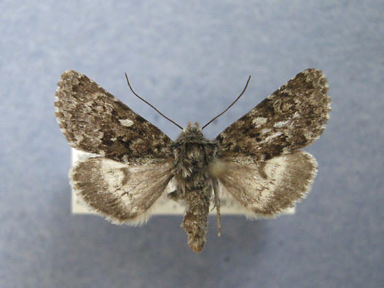 Lasionycta leucocycla  - Lasionycta leucocycla
