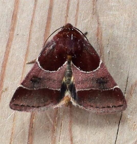 Noctuidae: Schinia arcigera - Schinia arcigera