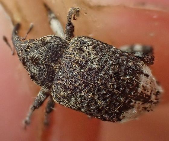 True Weevil - Cryptorhynchus lapathi