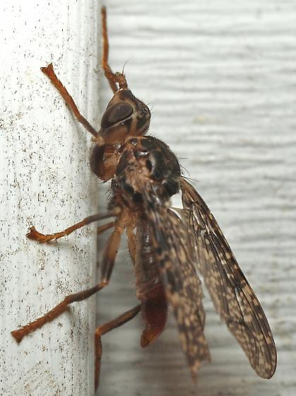 Really Unknown Fly - Sphecomyiella valida