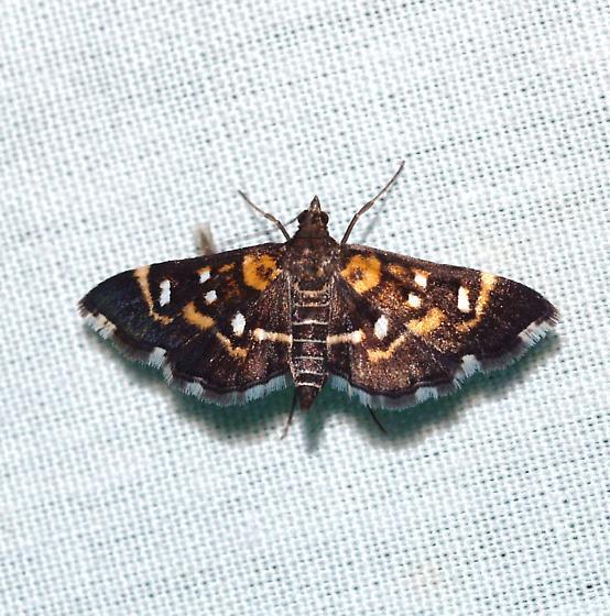 moth - Diathrausta