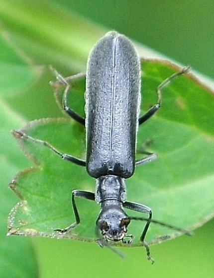 Podabrus piniphilus? - Dichelotarsus lygarius