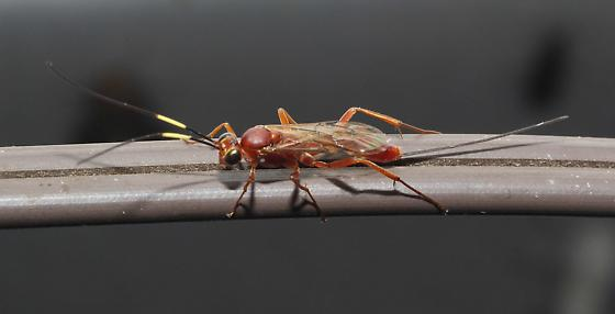 Braconid Wasp with yellow segment in antennae - female