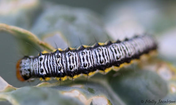 caterpillar on Brassica - Evergestis rimosalis