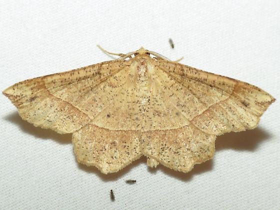 6737 Mottled Euchlaena - Euchlaena tigrinaria