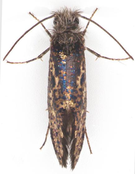Eriocraniidae, dorsal - Dyseriocrania griseocapitella